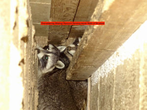 raccoon living in walls of home example