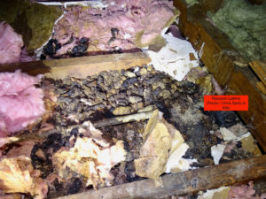 raccoon latrine in attic