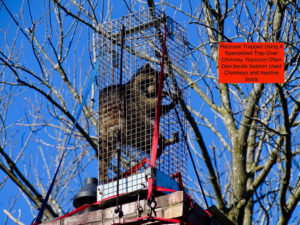 raccoon trapped in special over chimney trap