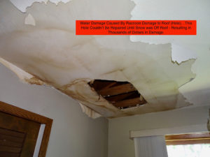 water damage caused by raccoon's who created hole in roof