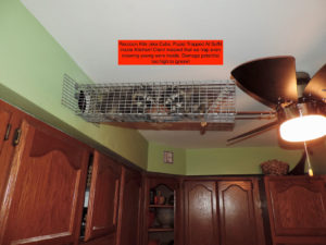 Raccoon kits removed from kitchen soffit!
