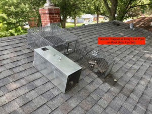 raccoon trapped at entry/exit point on roof