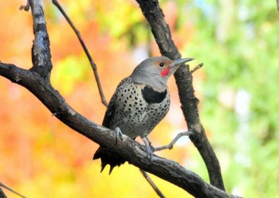 northern-flicker-938573_1280