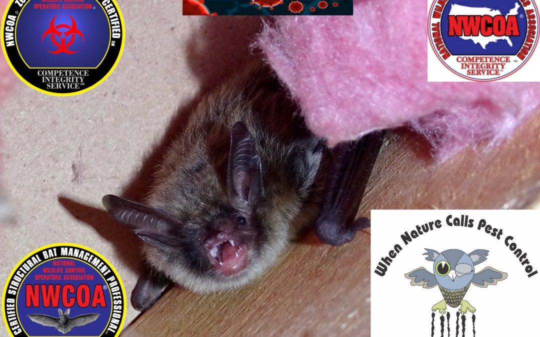 COVID-19 and Bats (Policy & Guidance for Handling Bats)