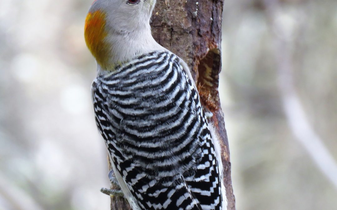 Woodpecker Facts – Damage & Repair Services