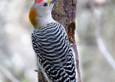 woodpecker-3137599_1920