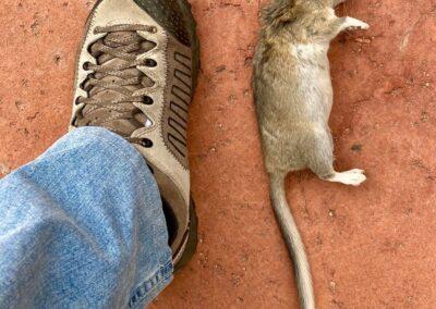 WNC - rat removal 1