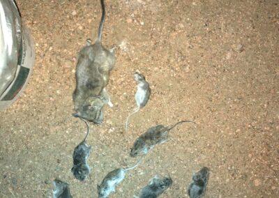 WNC - rat removal 6