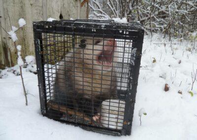 WNC - Opossum 1
