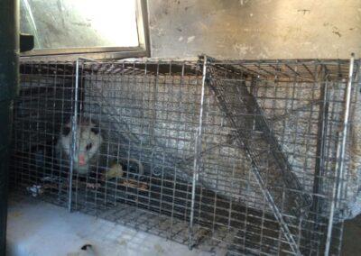 WNC - Opossum 3